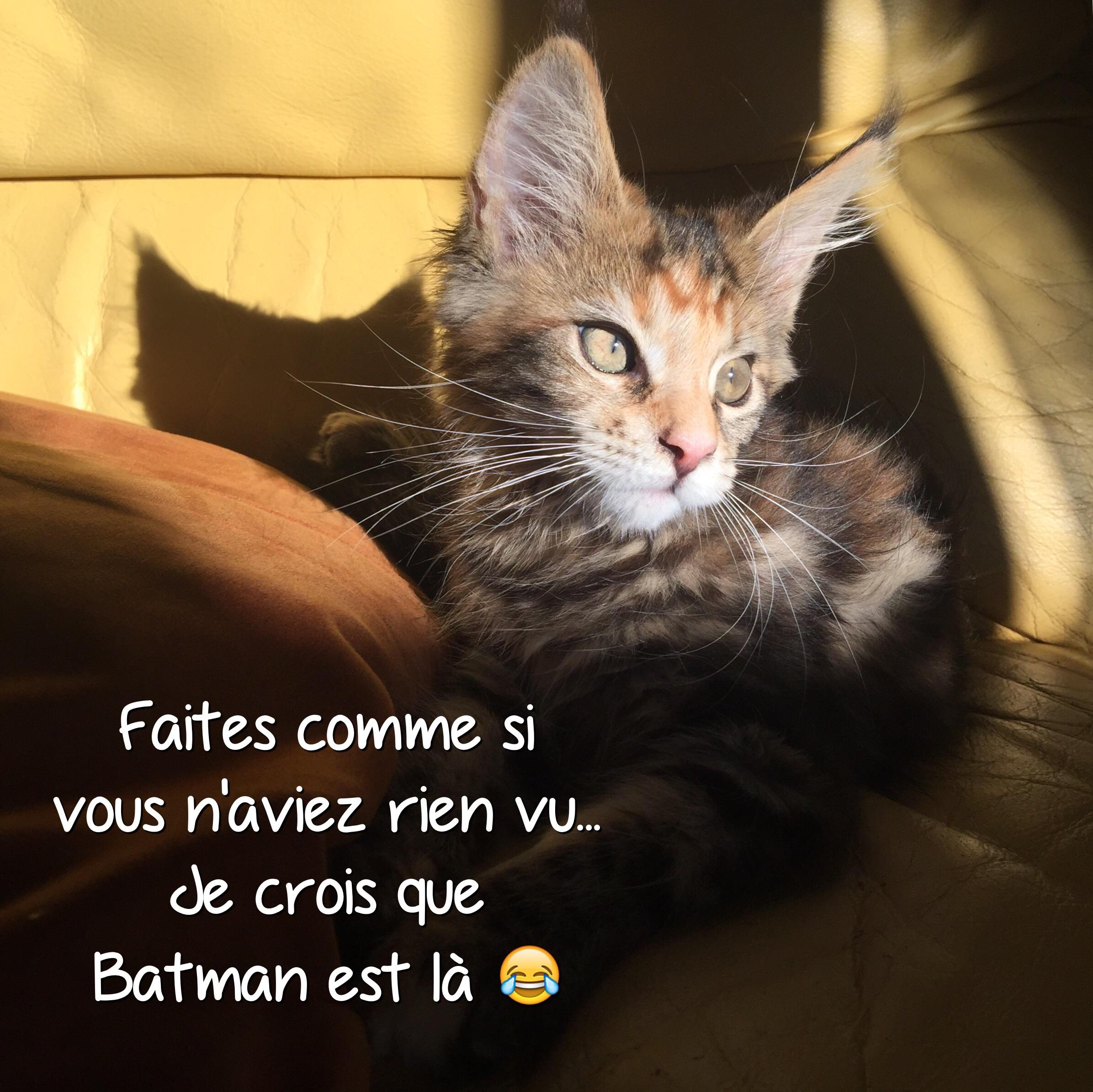 Vie de chat: Mamour a vu Batman