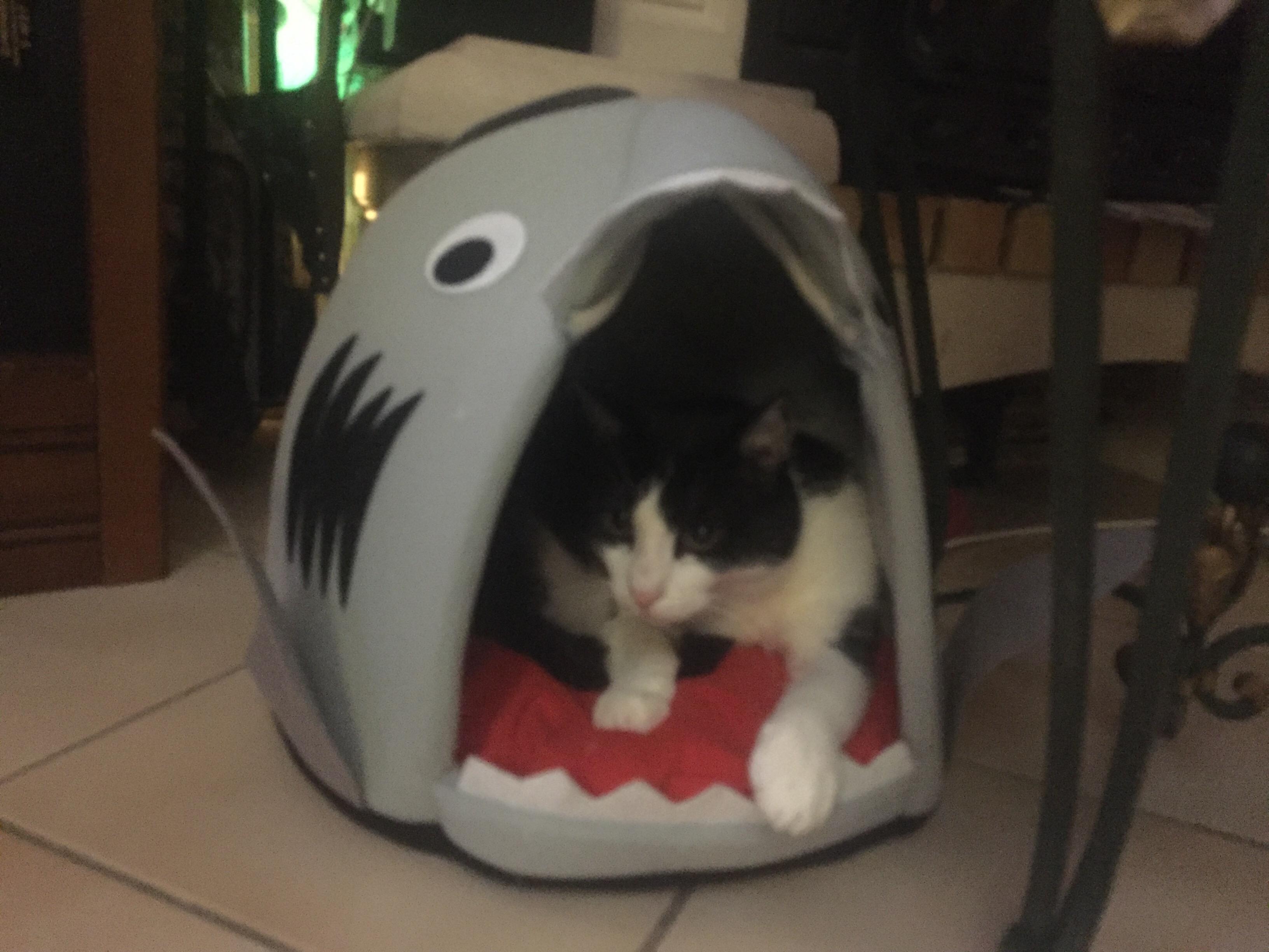 Vie de chat: un requin à la maison
